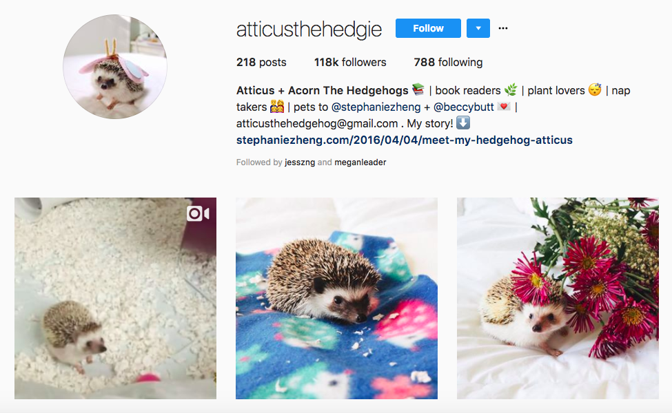 Atticus + Acorn The Hedgehogs top pet influencers