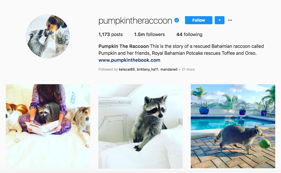 Pumpkin The Raccoon top pet influencers